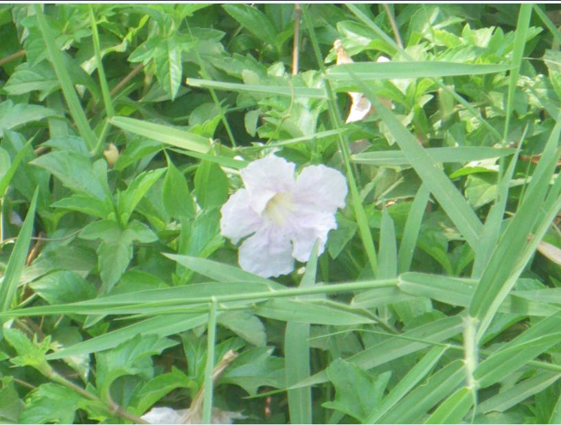 Sakuramodoki